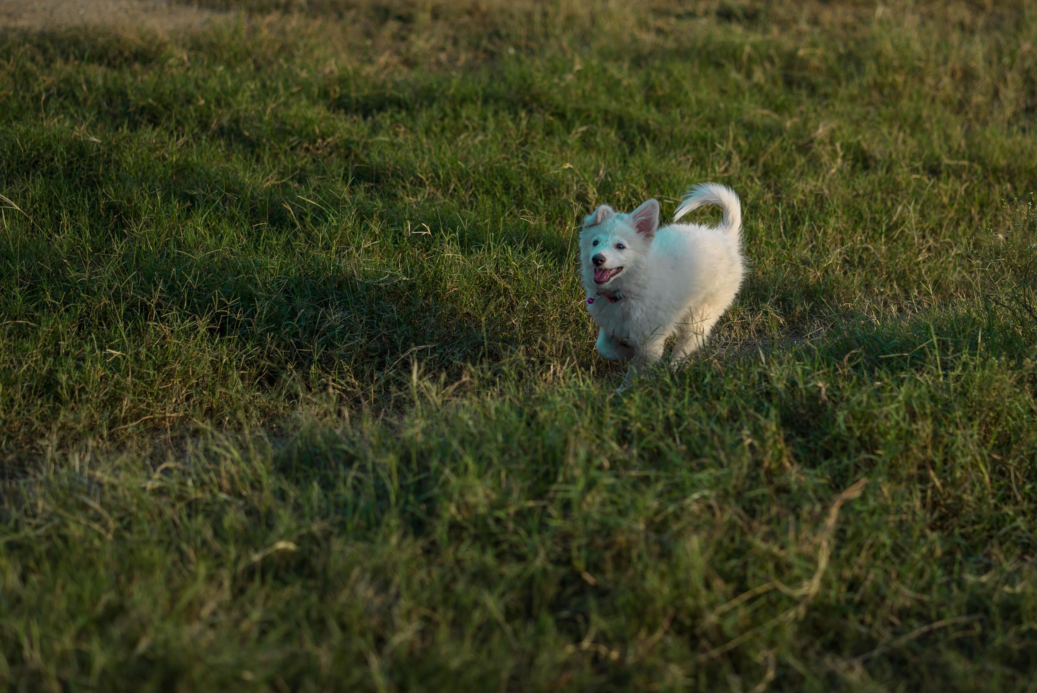 small white dog running