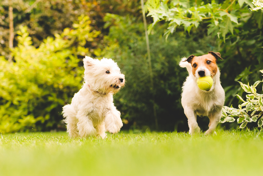 Two dogs playing with a ball