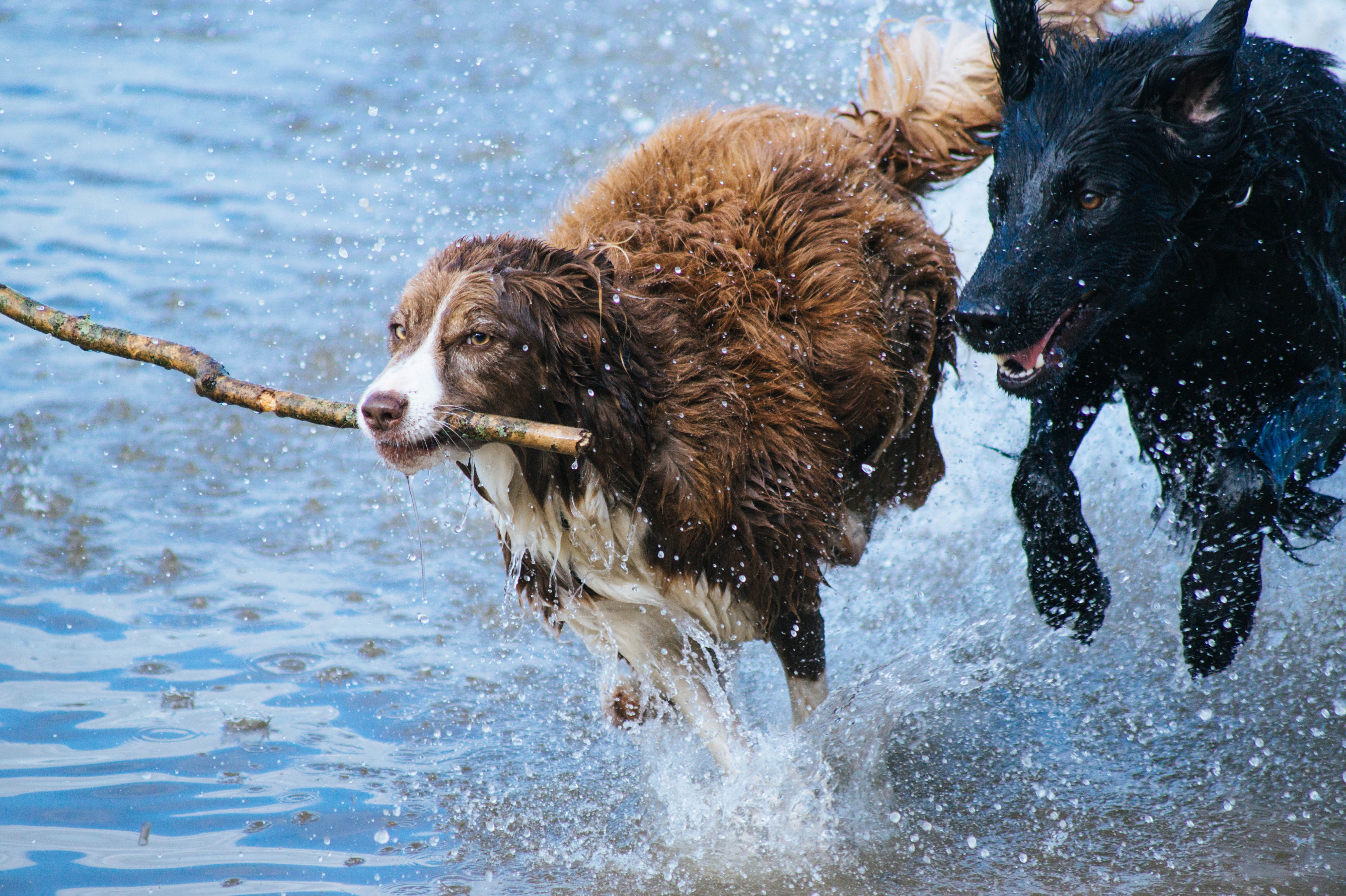 dogs running through water with stick